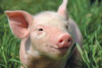 При покупке и продаже поросят необходимы ветеринарные сопроводительные документы