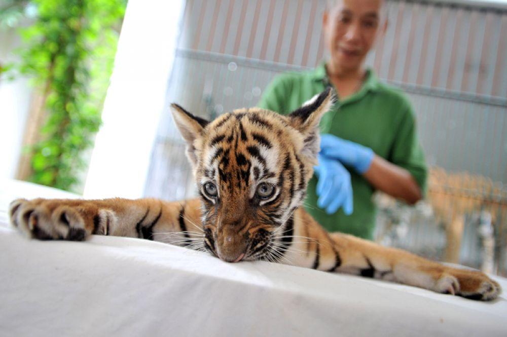 22 июня. В зоопарке Гуанчжоу появился тигренок.