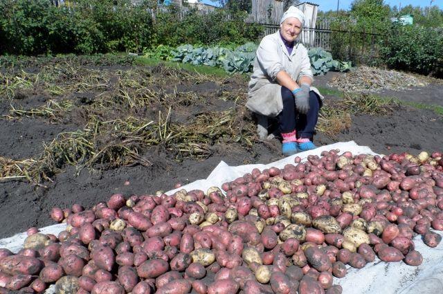 На тюменских болотах посадят картофель