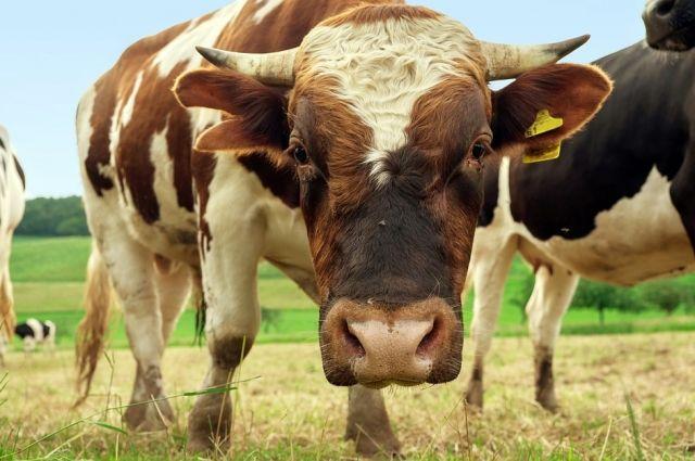 ВОмской области бык погубил пастуха