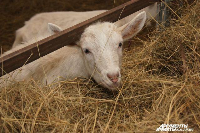 Трое жителей Балтийского района заразились энцефалитом через козье молоко
