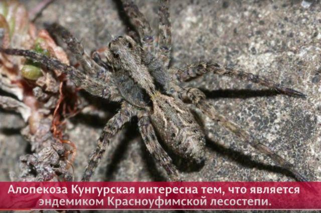 Паук находится в Красной книге Пермского края (имеет третью категорию редкости).