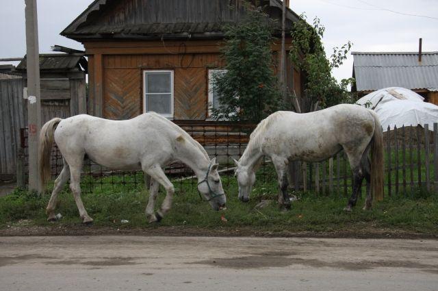 Южноуральские фермеры стали заниматься даже таким не совсем обычным видом деятельности, как коневодство.