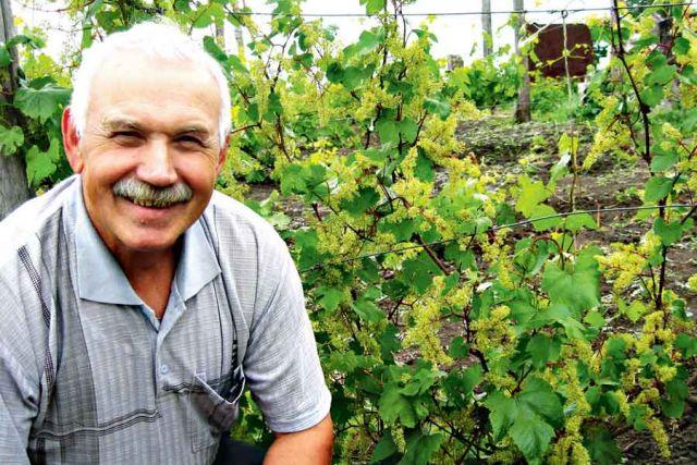 На участке у Виктора Митина  более 100 сортов винограда.