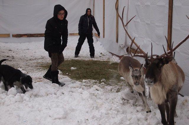 На Ямале появилось на свет более 105 тысяч оленят