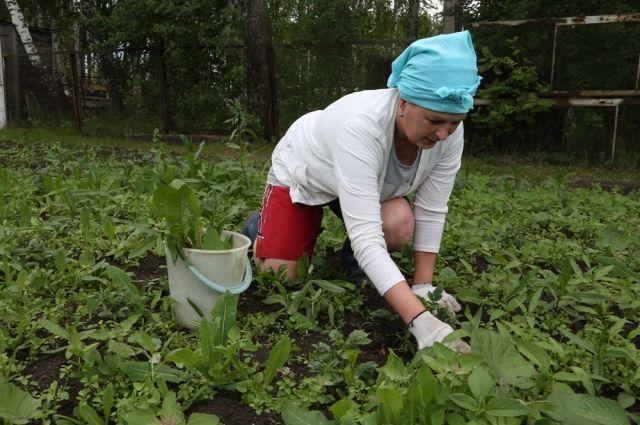 За неделю огород зарастает так, что прополоть его за выходные сложно.