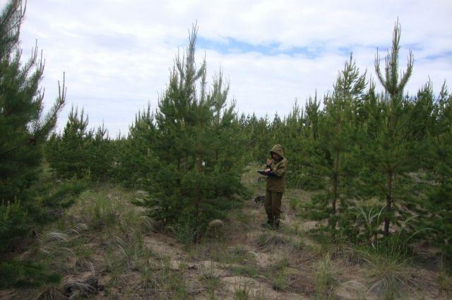 Центр защиты леса ведет обследование предгорных лесов и Салаирского кряжа.