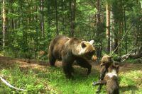 В период брачного периода самки прогоняют от себя медвежат.