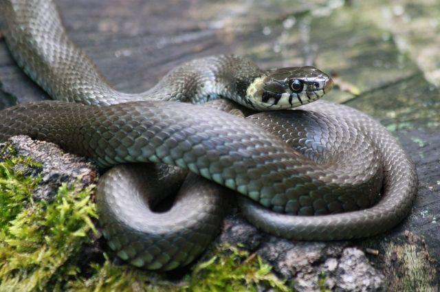 Майсовый полоз - миролюбивая змея.