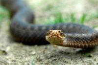 Змея нападает в крайнем случае.
