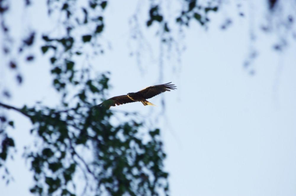 Коршуны - отличные охотники. Именно поэтому они поселились возле реки. У птичьего семейства всегда есть возможность поймать свежую рыбу..
