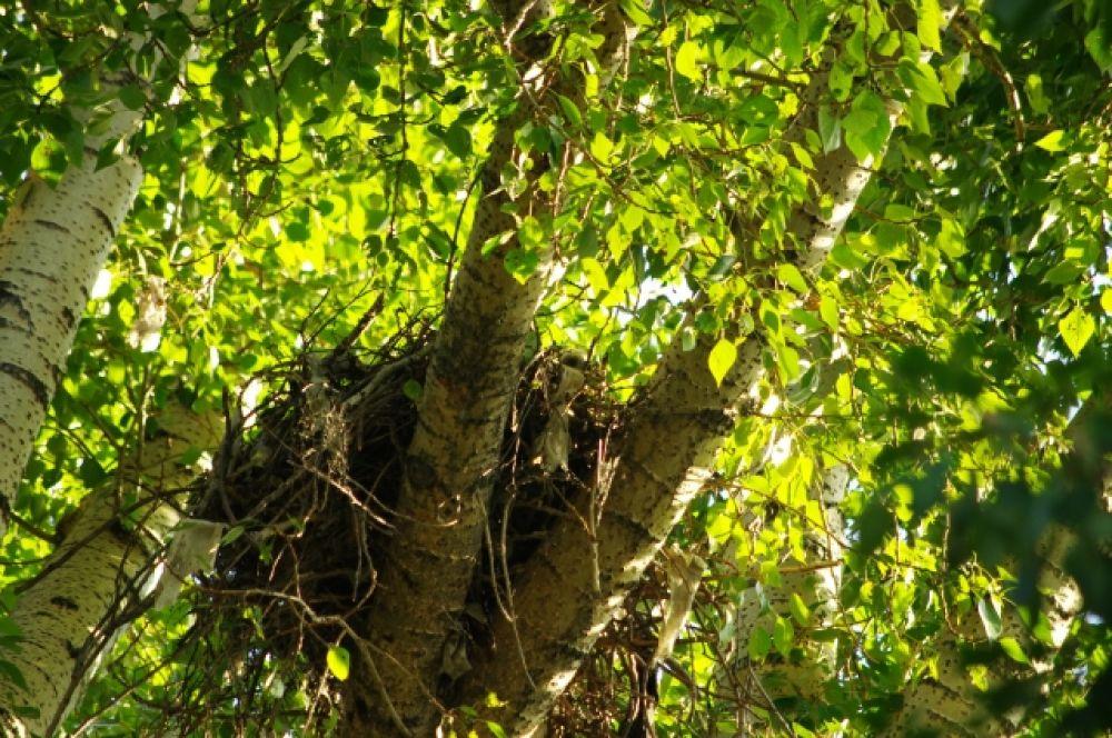А гнездо коршуны создали себе завидное! К тому же, украсили его обрывками от целлофановых пакетов, бумагой и тряпьем. И это для того, чтобы пометить свою территорию и обезопасить себя.