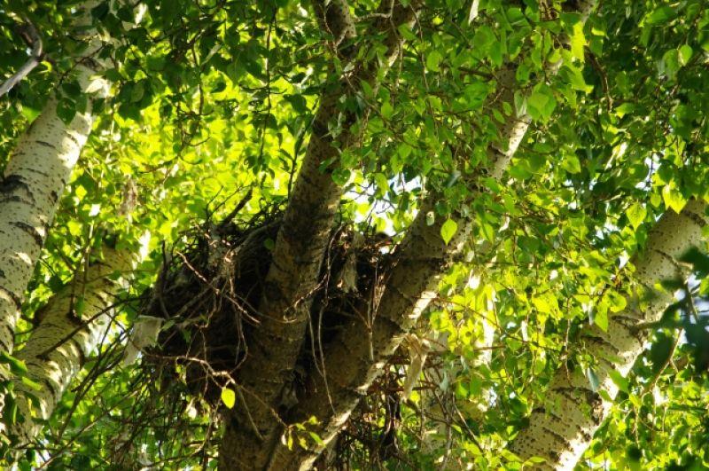 Пока родители добывают пропитание, маленькие птенцы с любопытством выглядывают из гнезда.