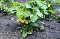 Ягоды не должны касаться земли - обеспечить это помогут подпорки. Прополка сорняков и незагущенные посадки - тоже важный момент в борьбе с гнилью.