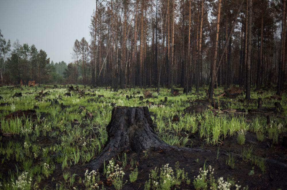 Пни от сгоревших деревьев в окрестностях пострадавшей от лесных пожаров деревни Черемушки в Прибайкальском районе Бурятии.