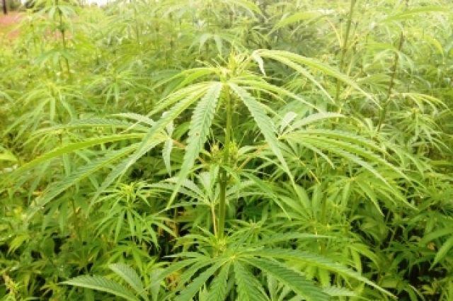 Конопля лазо отпустило от марихуаны чтобы