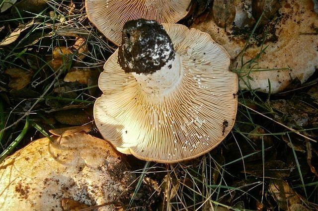Грузди можно найти в лесах с конца июля по сентябрь.