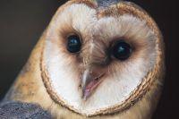 У этой совы очень своеобразный голос, напоминающий храп или сип.