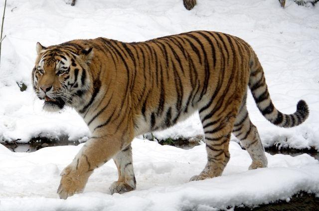 Амурсукие тигры относятся к вымирающим видам.
