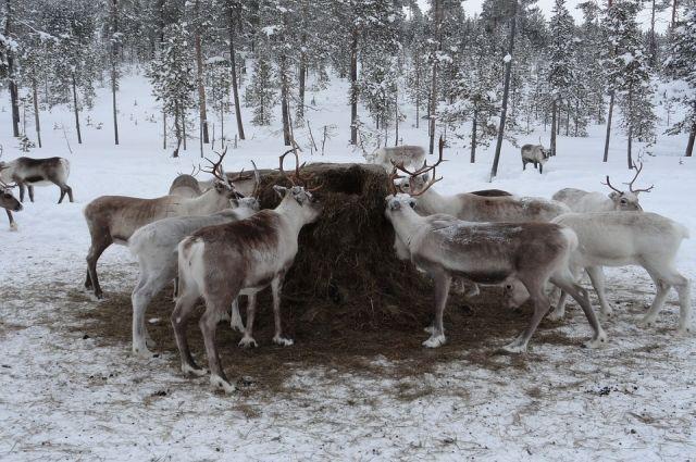 На Ямале привито почти 220 тысяч оленей
