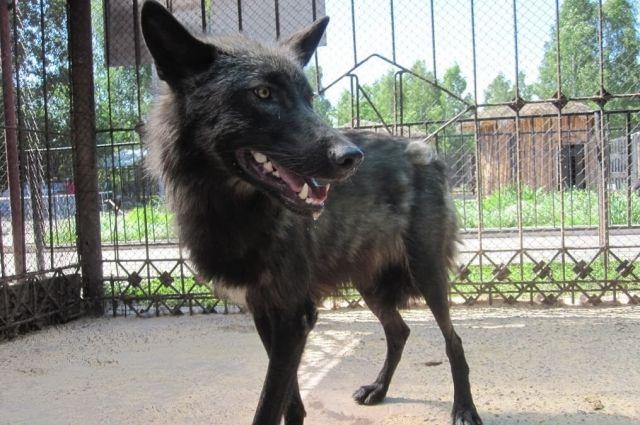 Канадский волк Блэк