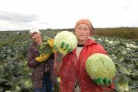 До нового урожая цена на капусту остаётся рекордно высокой.