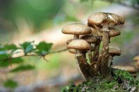 Опята – самые безвредные грибы, потому что они растут на старых деревьях или пеньках, и ничего вредного из земли в себя не втягивают.