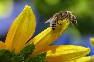 Аллергическая реакция на пчёл, ос, и других насекомых, впрыскивающих яд, может быть наиболее опасной