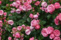 На выставке покажут гибриды мускусных роз или розы Ленса.