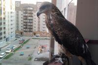 Некоторые горожане селят хищных птиц у себя дома