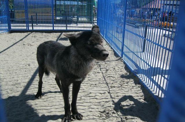 Взоопарке Барнаула волк напал на 3-х летнего ребенка