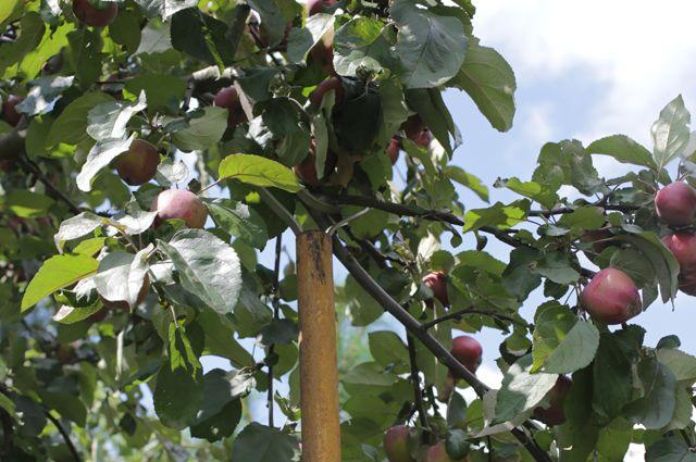 Подпорка для яблони своими руками 893