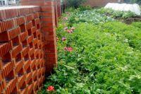 В Кемеровской области местная жительница выращивала опийный мак.
