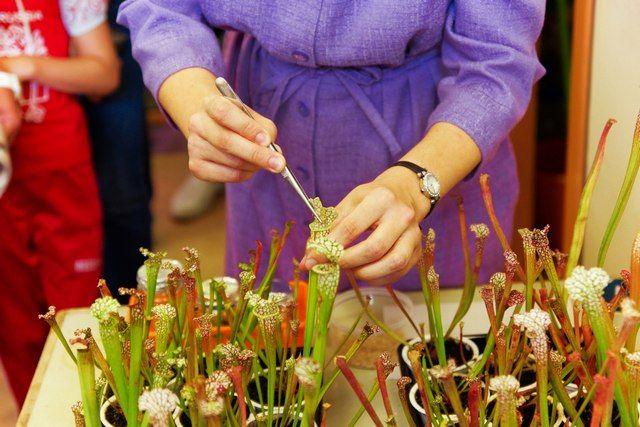 Сарацения - хищное растение