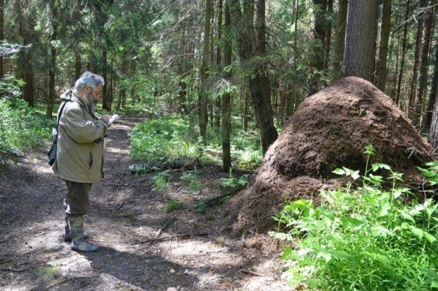 a47560764 Биологи обнаружили в Подмосковье гигантский муравейник | Природа ...