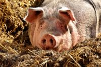 Опасных свиней и их соседей в радиусе 5 км уничтожат.