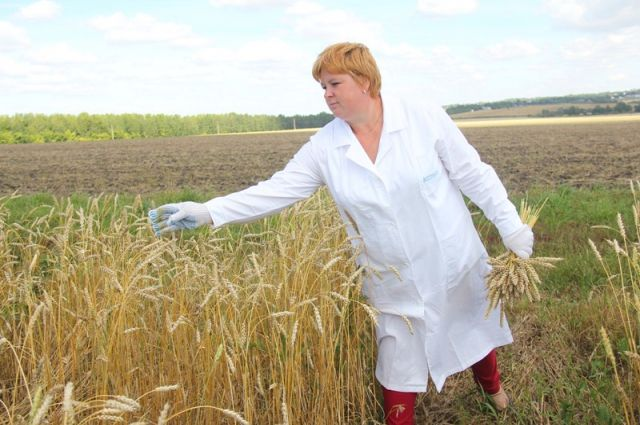 Омской пшенице не хватает дождей.