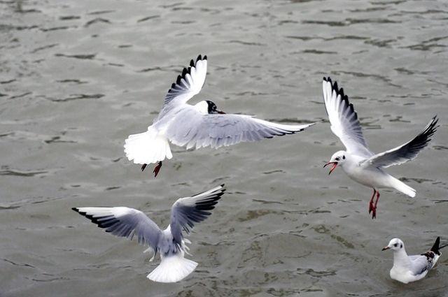 Чайки с травмами лап и крыльев
