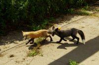 Добрые лисы могут жить с человеком как домашние животные