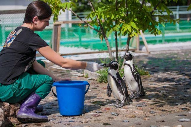 Понаблюдать за пингвинами можно во время кормления.