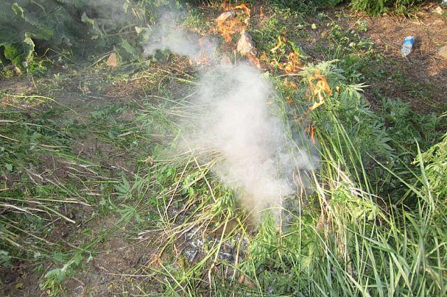 Специалисты департамента общественной безопасности уточняют, что в городе немало мест, где произрастает конопля.