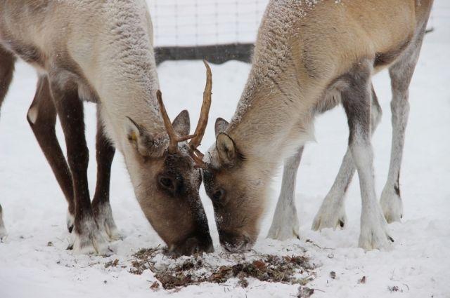 В Пуровских оленьих стадах прибавление