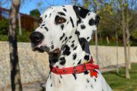 Цирковой пёс был породы далматин.