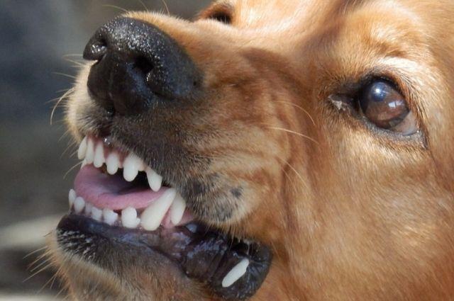 В Оренбурге на двухлетнего ребенка напала соседская собака.