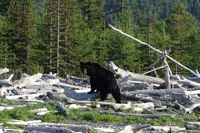 Возле села Мужи бродит юный медведь