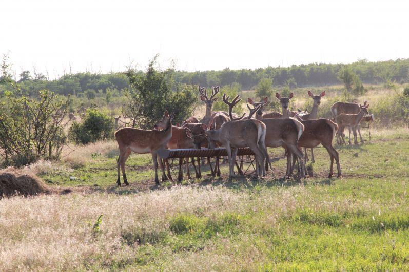 Сейчас в стаде около 60 благородных животных. Некоторых отпускают в естественную среду.