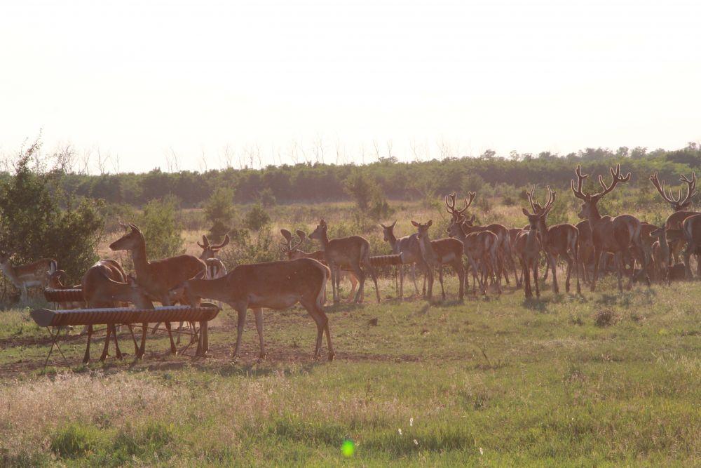 Кормежка длится около 20 минут, насытившись, олени и косули убегают. Но это ещё не финиш нашей экскурсии.