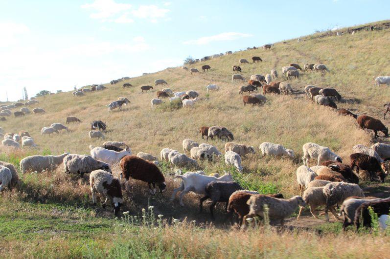 На пыльной дороге путь нам преградило стадо овец.