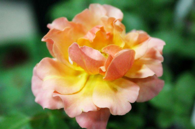 Своей красотой удивляют некоторые сорта роз.