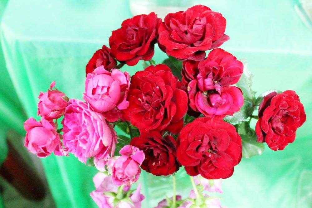 Более 150 сортов зимостойких садовых роз представлены на выставке в Иркутске.